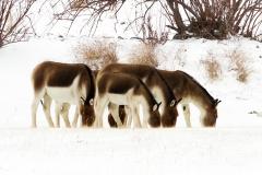 Wild Ass in Ladakh