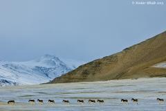 Tibetan wild ass for Sanjoy's book