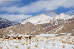 Tibetan Wild Ass at Hanley plains