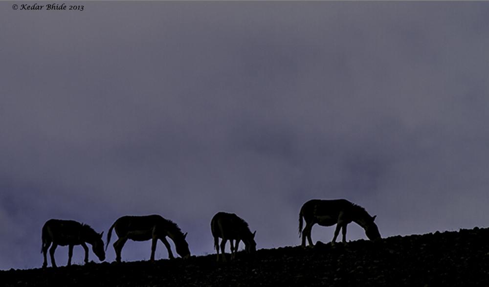 Kiyang, Tibetan Wildass