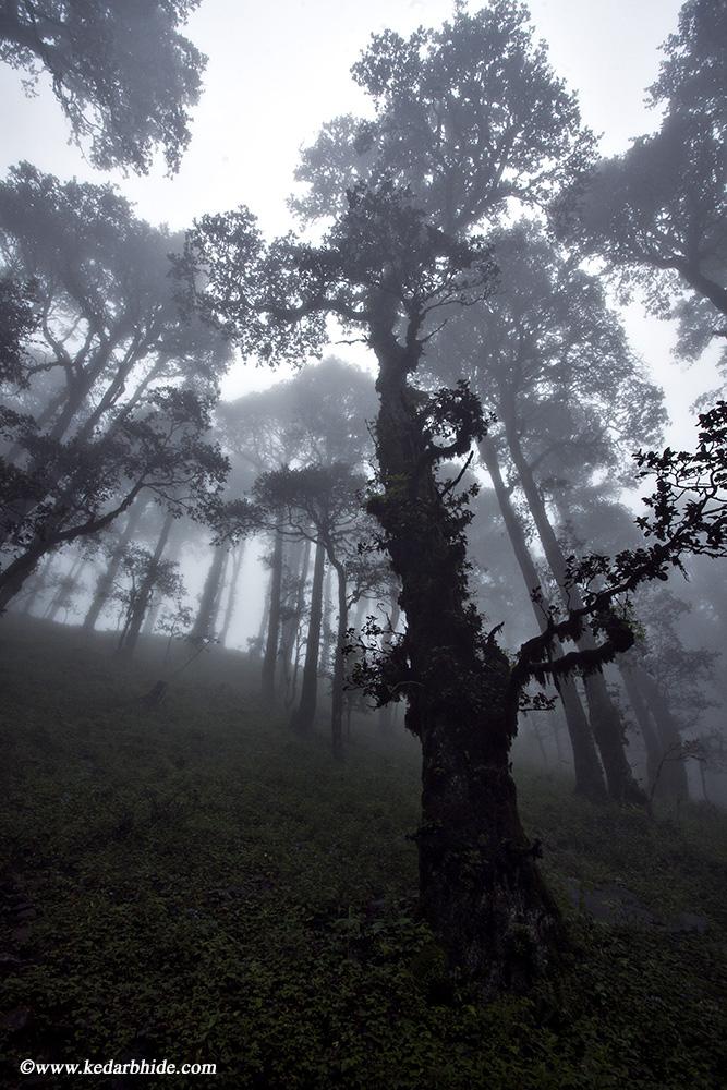 Jalori Pass, Golden Oak forest