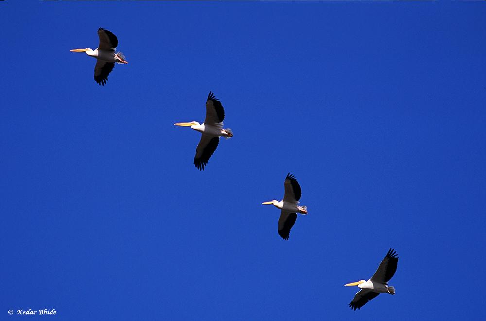 Pelicans at Bharatpur