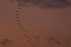 Demoiselles Crane in Flight