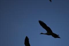 Demoiselles Crane Silhouette