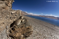 Snow Lizard at Tso Moriri Lake